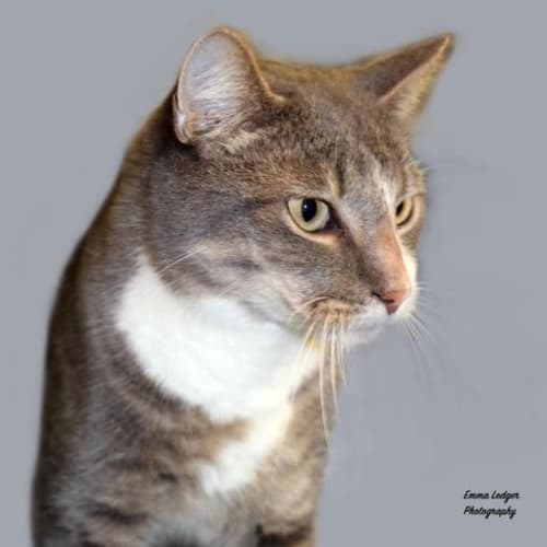 Marble - Domestic Short Hair Cat