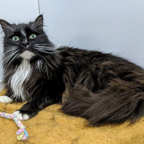 Woose - Domestic Long Hair Cat