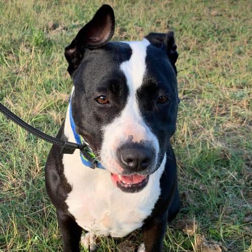 Lola - American Staffordshire Terrier Dog