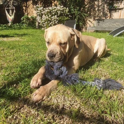 Kira  - Mastiff Dog