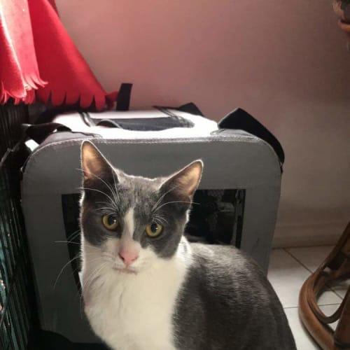 Bounty ❤ - Domestic Short Hair Cat