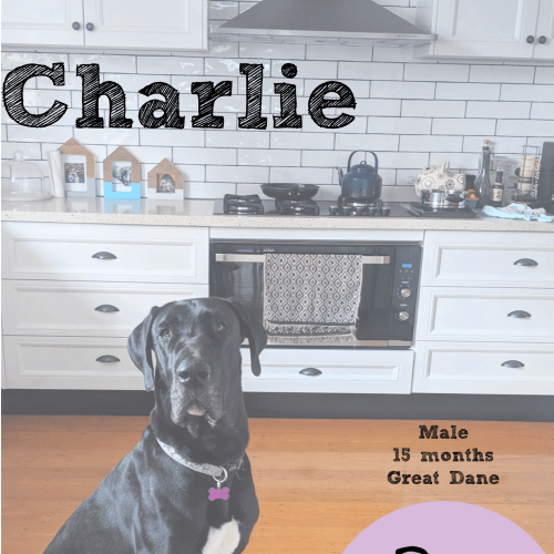 Charlie - Great Dane Dog