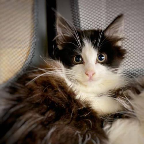 3343 - Lady Shiva - Domestic Medium Hair Cat