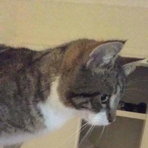 Thrawn - Domestic Short Hair Cat