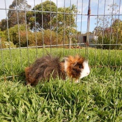Emma - Guinea Pig