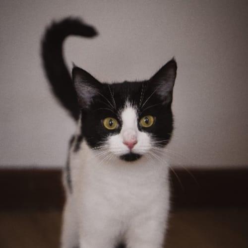 Emily - Domestic Medium Hair Cat