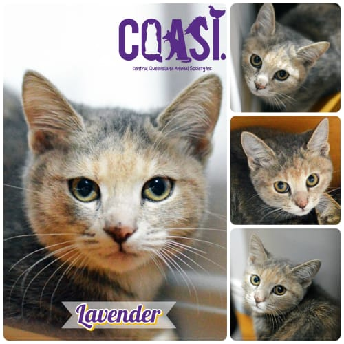 Lavender - Domestic Short Hair Cat