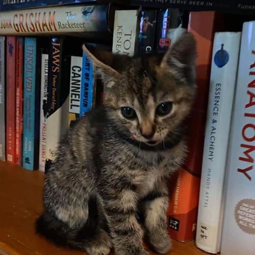 Pinto - Domestic Short Hair Cat