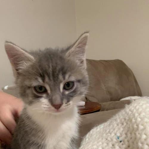 Rumble - Domestic Medium Hair Cat