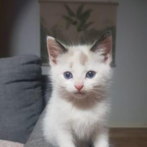 Aspen - Ragdoll Cat