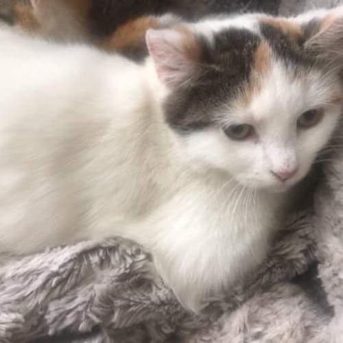 Snowey - Domestic Short Hair Cat
