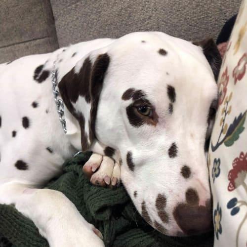 Lenny - Dalmatian Dog