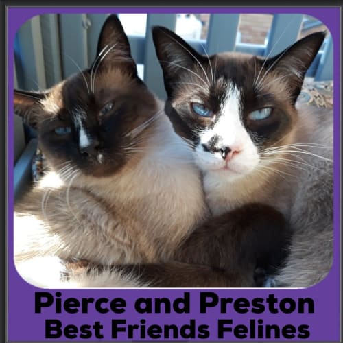 Pierce and Preston - Balinese Cat
