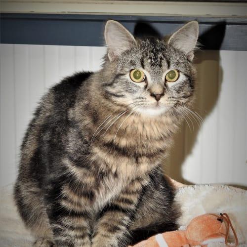 Chocky - Domestic Short Hair Cat