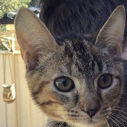 Carlos - Domestic Short Hair Cat