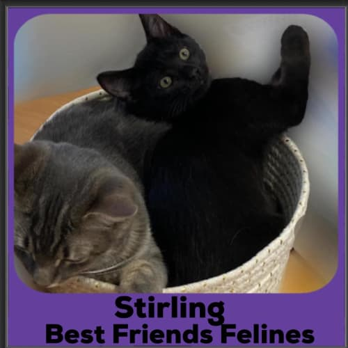 Stirling  - Domestic Short Hair Cat