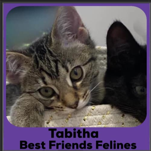 Tabitha  - Domestic Short Hair Cat