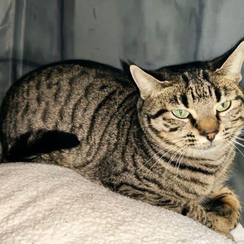 2923 - Lena - Domestic Short Hair Cat