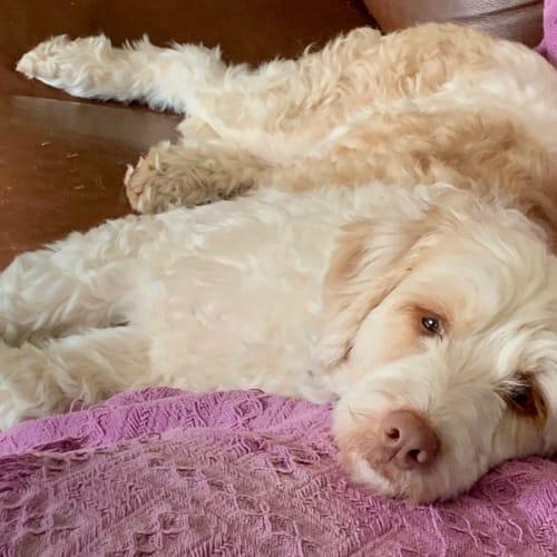 Ellie - Border Collie x Poodle Dog