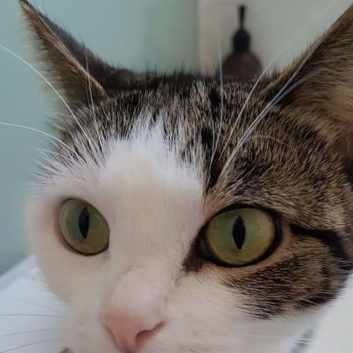Leela - Domestic Short Hair Cat