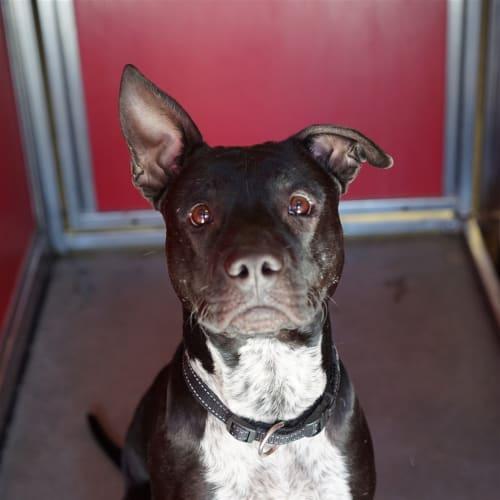 Bruiser - Australian Cattle Dog x American Staffordshire Bull Terrier Dog