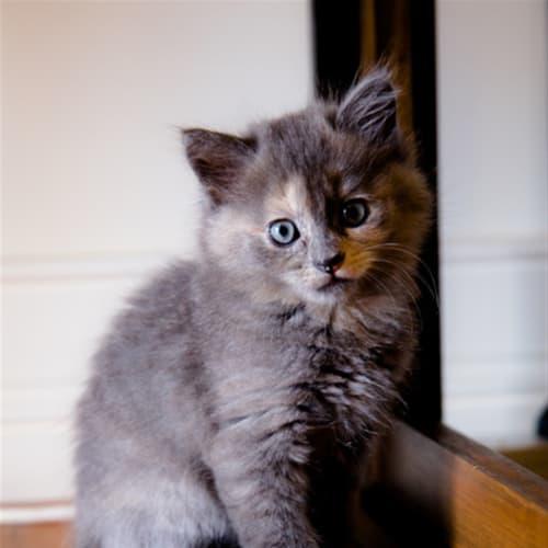 Ivory - Domestic Medium Hair Cat