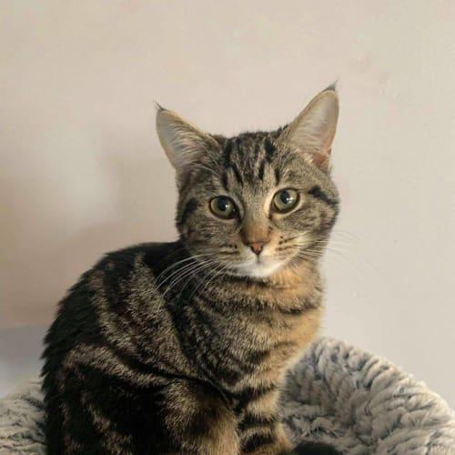 3308 – Cheetara - Domestic Short Hair Cat