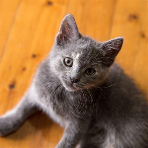 Ivy - Domestic Short Hair Cat