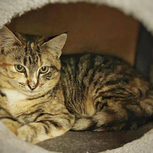 3346 - Selina - Domestic Short Hair Cat