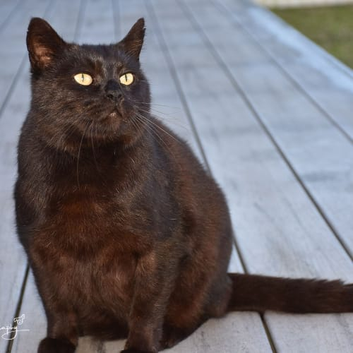 Blackie ** Total Love bug ** - Domestic Medium Hair Cat