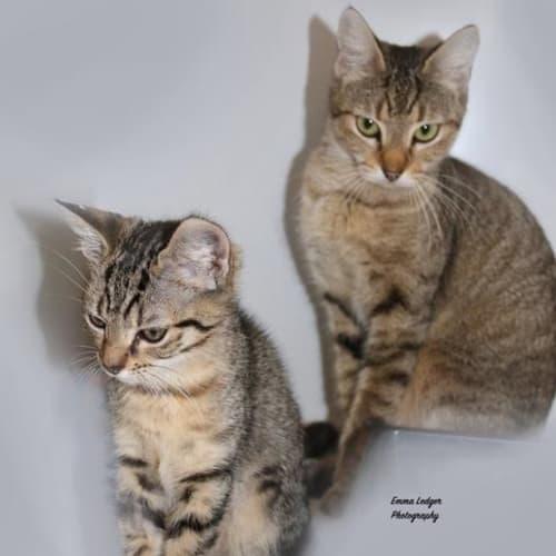 Micki  - Domestic Short Hair Cat