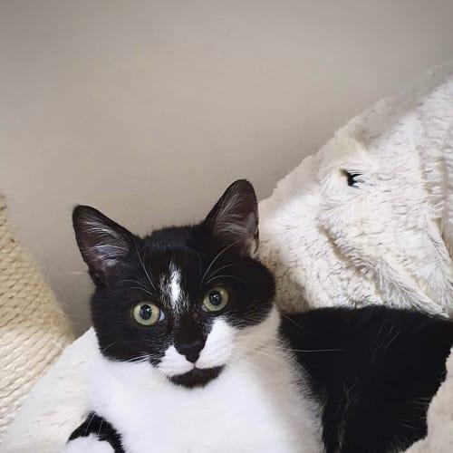 Ace ♠️️ - Domestic Short Hair Cat