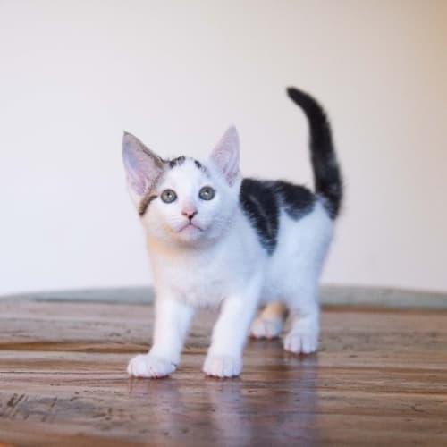 Kibble - Domestic Short Hair Cat