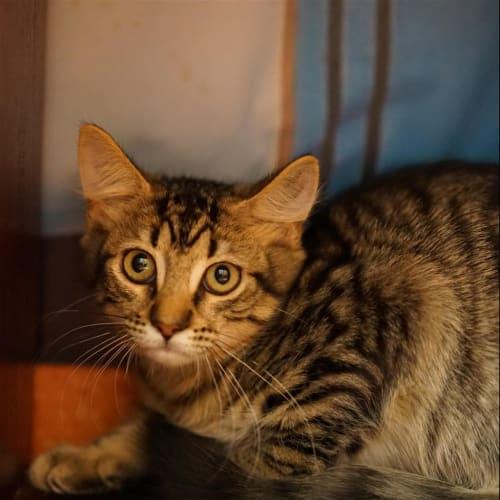 Elma Fudd - Domestic Medium Hair Cat