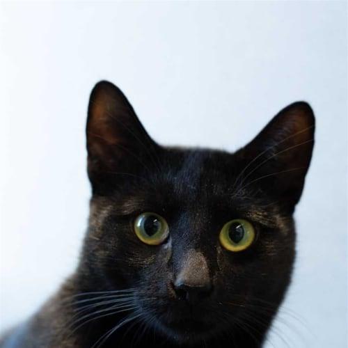Inki - Domestic Short Hair Cat