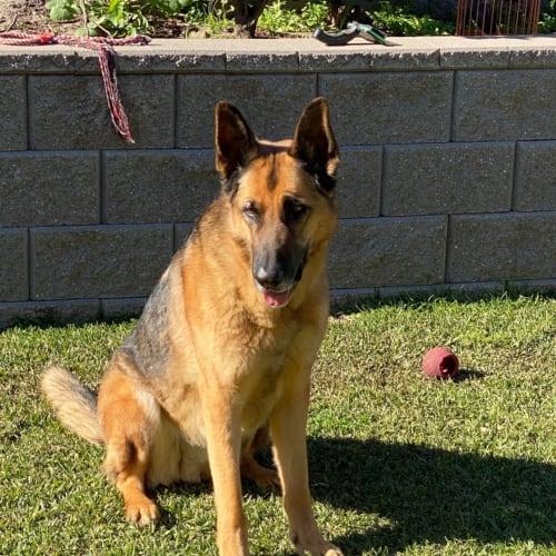 Cooper 🐕💚 - German Shepherd Dog