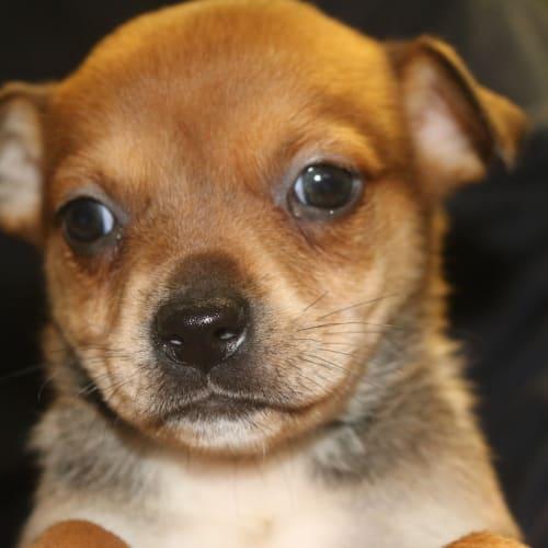 Challah - Staffy Dog