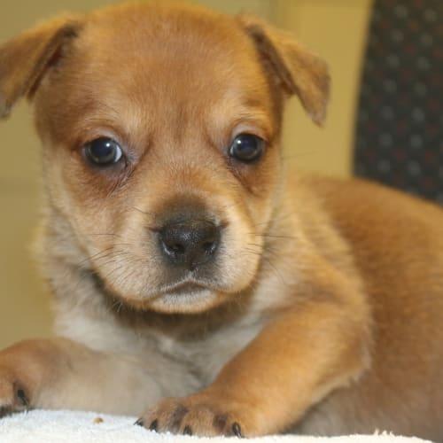 Butterscotch - Staffy Dog