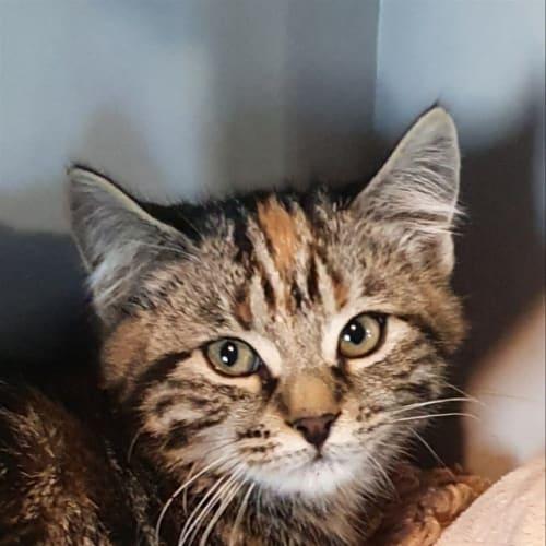 Nirvana - Domestic Medium Hair Cat