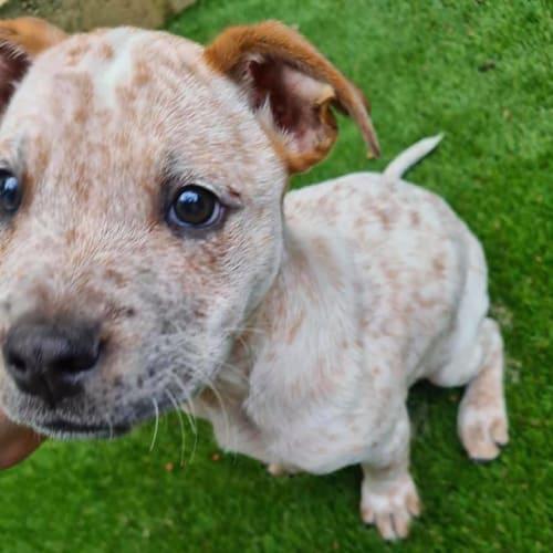 Puppy Moe DL2468 - Australian Cattle Dog x Mastiff Dog