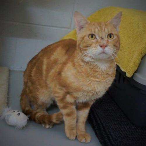 Redmond - Domestic Short Hair Cat