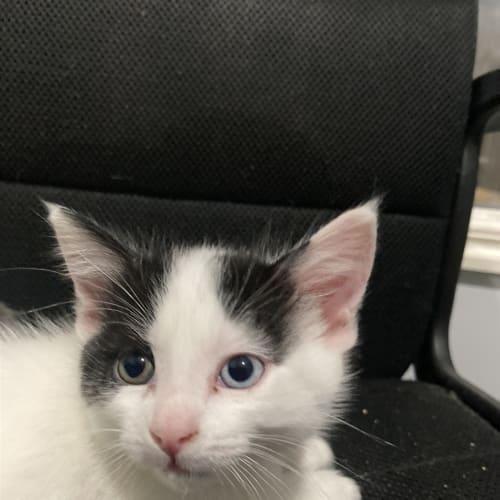 Dominic - Dsh Cat