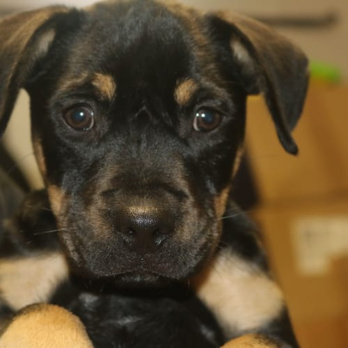 Soda - Rottweiler x Staffy Dog