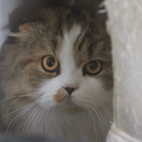 Leo - Scottish Fold x Munchkin Cat