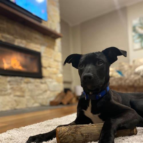 Charlie - Kelpie x English Staffordshire Bull Terrier Dog