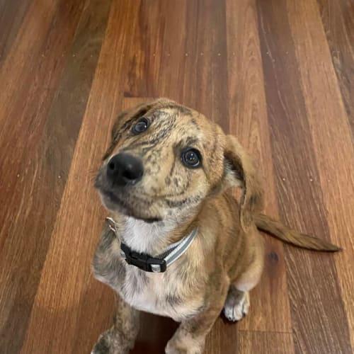 Crumpet - Mastiff Dog