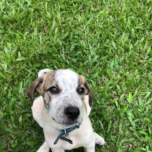 Harry - Mastiff Dog