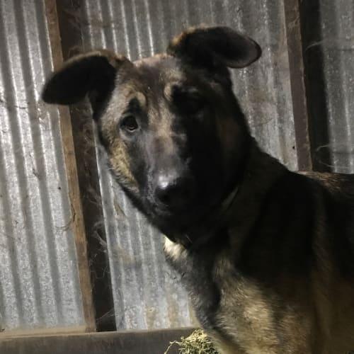 Pounce - German Shepherd Dog