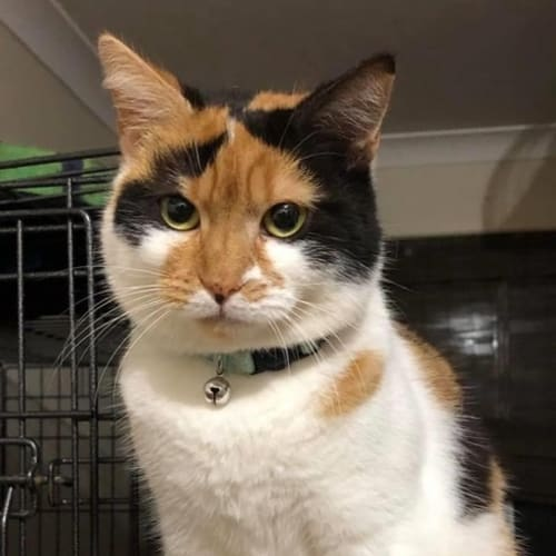 Venus ** Deserves Happiness ** - Domestic Short Hair Cat
