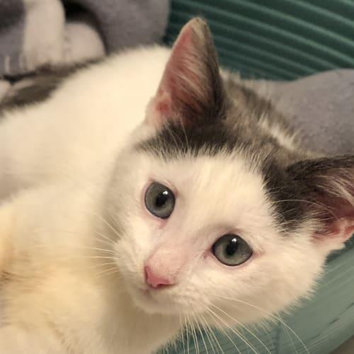 Jess - Domestic Short Hair Cat